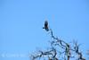 Zone-tailed hawk, Mojave Natl Preserve CA (6)