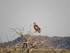 Hawk, Joshua Tree NP CA (2)