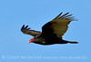 Turkey vulture at Calif coast (2)