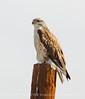 Ferruginous Hawk wLeg Band, Barstow, CA (1)