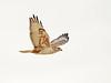 Ferruginous Hawk, Barstow, CA (1)