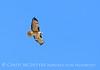 Red-tailed hawk, MOJA CA (9)
