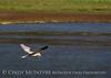 White-tailed kite, Big Bear Lake CA (2)