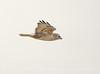 Ferruginous Hawk, Barstow CA (3)