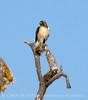 Red-tailed hawk, Mojave Natl Preserve CA (4)