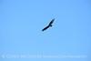 Zone-tailed hawk, Mojave Natl Preserve CA (3)