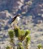 Red-tailed hawk, MOJA CA (2)