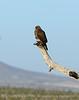 Swainson's Hawk dark form, Mojave Natl Preserve CA (1)