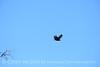 Zone-tailed hawk, Mojave Natl Preserve CA (9)