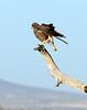 Swainson's Hawk dark form, Mojave Natl Preserve CA (2)