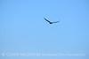 Zone-tailed hawk, Mojave Natl Preserve CA (4)