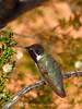 Costa's hummingbird male, Valley of Fire NV (45)
