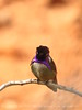 Costa's hummingbird male, Valley of Fire NV (77)