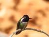 Costa's hummingbird male, Valley of Fire NV (27)