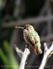 Hummingbird female, Joshua Tree NP (1)