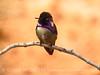 Costa's hummingbird male, Valley of Fire NV (56)