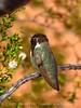 Costa's hummingbird male, Valley of Fire NV (49)