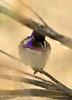 Costa's Hummingbird male on bladderpod (2)