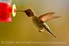 Anna's Hummingbird male, S Calif (8)