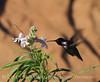 Costa's Hummingbird male, Desert willow