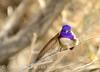Costa's Hummingbird male on bladderpod (11)