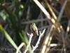 Hummingbird female, Joshua Tree NP (2)