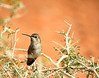 Costa's hummingbird female, NV