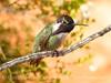 Costa's hummingbird male, Valley of Fire NV (37)