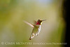 Anna's Hummingbird male, S Calif (12)