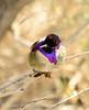 Costa's Hummingbird male on bladderpod (8)