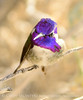 Costa's Hummingbird male on bladderpod (14)