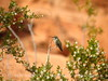 Costa's hummingbird female, Valley of Fire NV (3)