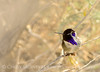 Costa's Hummingbird male on bladderpod (3)