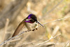 Costa's Hummingbird male on bladderpod (12)