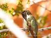 Costa's hummingbird male, Valley of Fire NV (4)