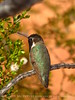 Costa's hummingbird male, Valley of Fire NV (55)
