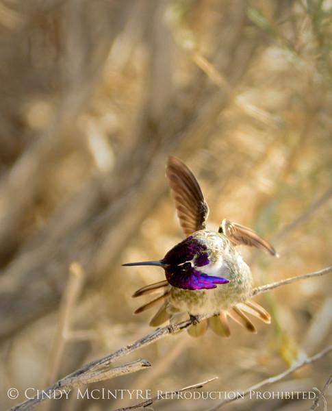 Costa's hummingbird male, S Calif (2)