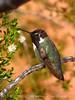 Costa's hummingbird male, Valley of Fire NV (52)