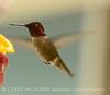 Anna's Hummingbird male, S Calif (2)