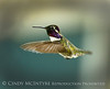 Costa's Hummingbird male, S Calif  17