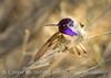 Costa's Hummingbird male on bladderpod (10)