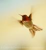 Anna's Hummingbird male, S Calif (1)