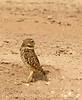Burrowing Owl near mudpots, Salton Sea CA (8)