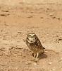 Burrowing Owl male, Salton Sea, CA (1)