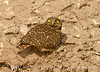 Burrowing Owl near mudpots, Salton Sea CA (11)