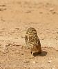 Burrowing Owl male, Salton Sea, CA (3)