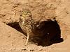 Burrowing Owl near mudpots, Salton Sea CA (3) copy 2