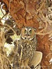 Long-eared owl, Ridgecrest CA (6)
