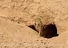 Burrowing Owl near mudpots, Salton Sea CA (3)