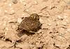 Burrowing Owl near mudpots, Salton Sea CA (13)